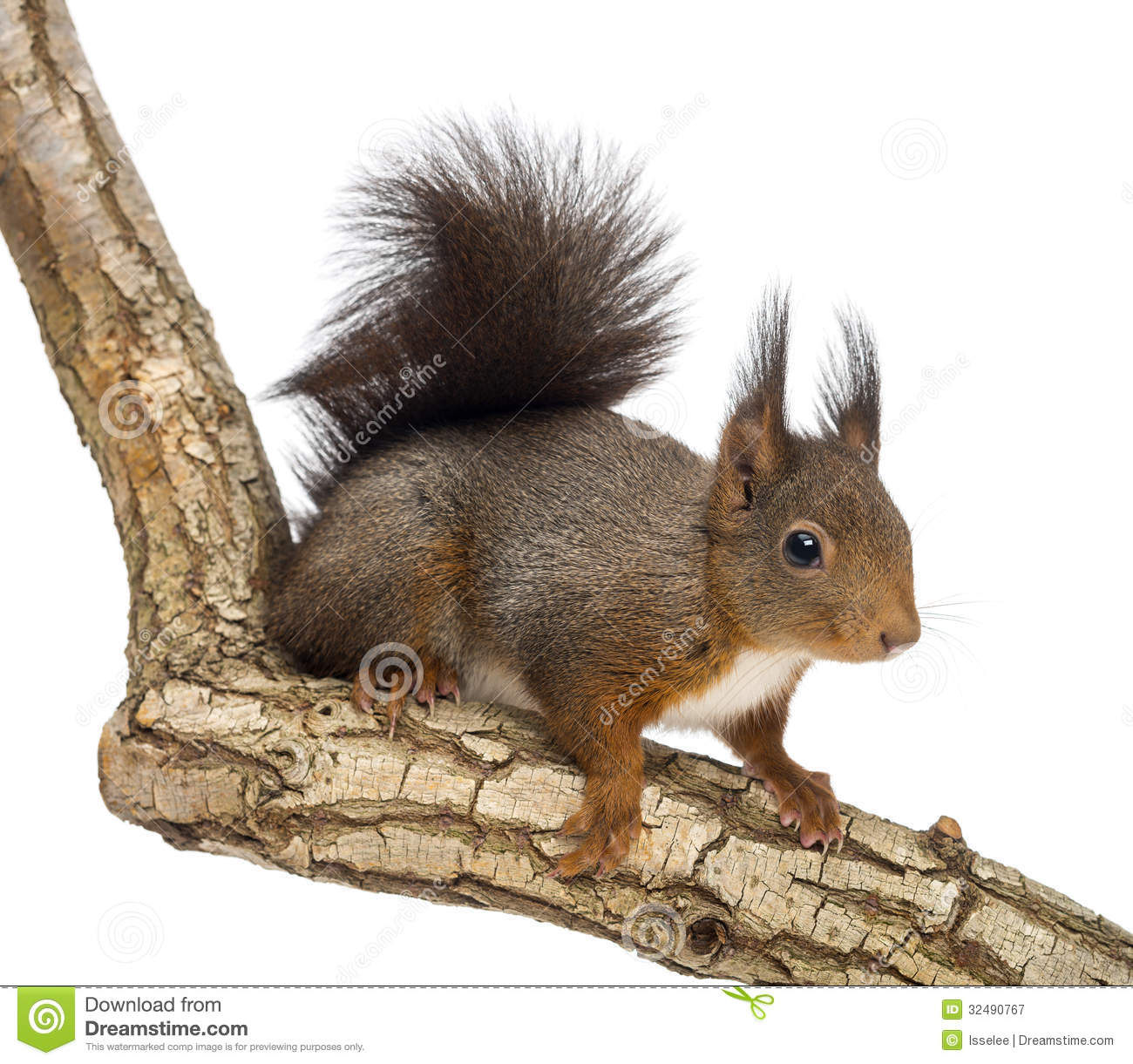 Eurasian Red Squirrel, Sciurus Vulgaris Royalty Free Stock Photo.