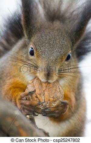Stock Photography of Eurasian red squirrel (Sciurus vulgaris.