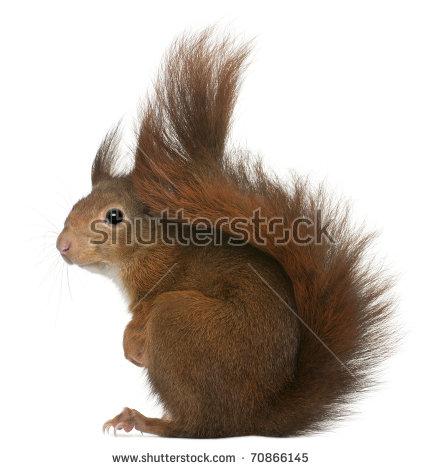 Eurasian Red Squirrel Sciurus Vulgaris 2 Stock Photo 14458483.