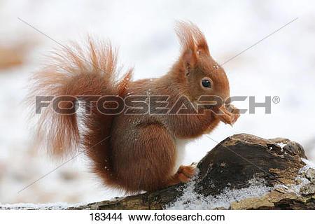Stock Photo of Red Squirrel (Sciurus vulgaris) eating on the.