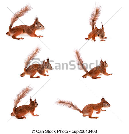 Stock Photography of Eurasian red Squirrel, Sciurus Vulgaris on.