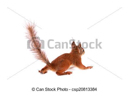 Pictures of Eurasian red Squirrel, Sciurus Vulgaris on white.