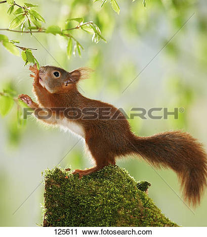 Stock Photography of young European red squirrel / Sciurus.