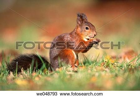 Stock Photo of Red Squirrel (Sciurus vulgaris). Bavaria, Germany.