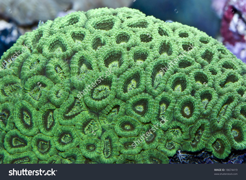 Large Polyp Scleractinia Marine Aquarium Stock Photo 18674419.
