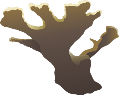 Acropora palmata (Elkhorn Coral) 2.