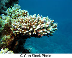 Stock Photographs of Stony Coral Scleractinia.