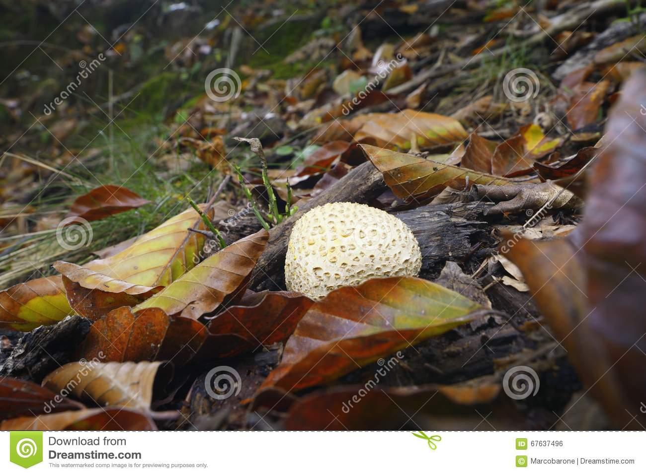 Mushroom, Scleroderma Citrinum Stock Photo.