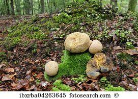 Scleroderma citrinum Stock Photo Images. 18 scleroderma citrinum.
