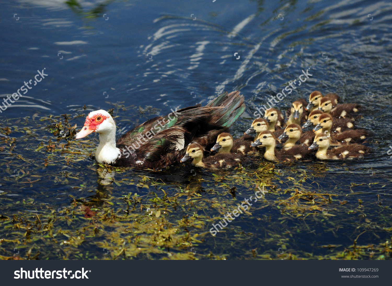 Scobie Duck With Twelve Cute Ducklings Stock Photo 109947269.