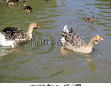 Mother Cute Baby Scobie Ducks Pond Stock Photo 109412426.