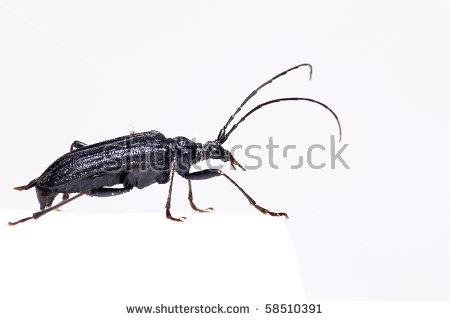 Little Capricorn Beetle Stock Photos, Royalty.