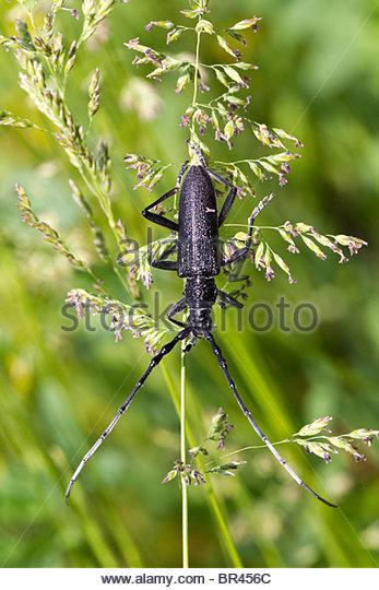 Capricorn Beetle Stock Photos & Capricorn Beetle Stock Images.