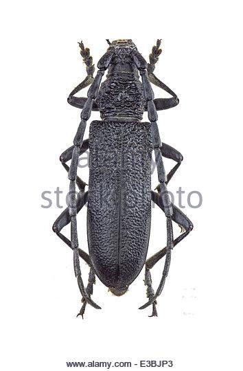 Great Capricorn Beetle Stock Photos & Great Capricorn Beetle Stock.