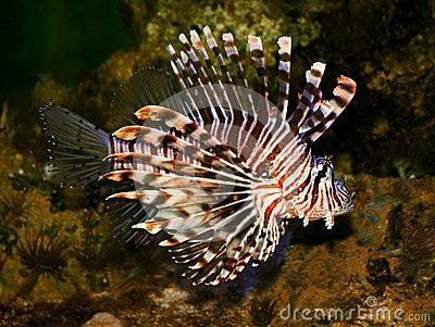 Lionfish Family Scorpaenidae Stock Images.