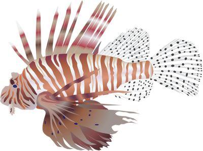 Pterois volitans (Red Lionfish) Illustration of Pterois volitans.