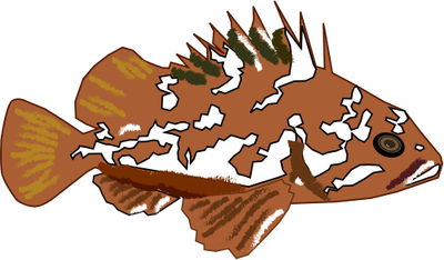 Sebastes carnatus (Gopher Rockfish).