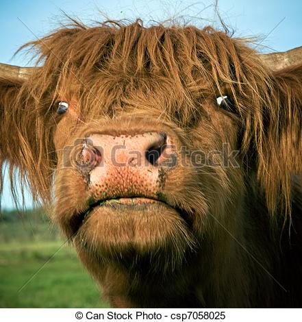 Stock Images of Scottish highland cow.