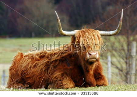 Highland Cow Stock Photos, Royalty.