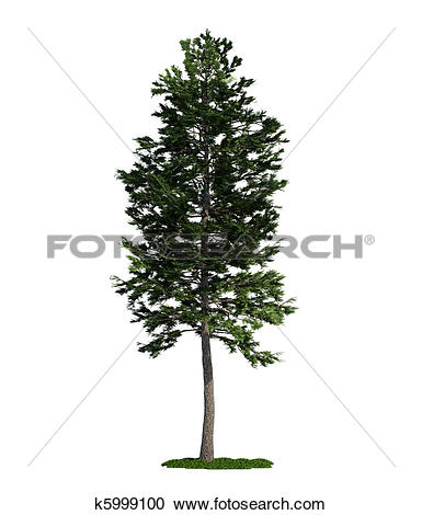 Stock Photography of isolated tree on white, Scots Pine (Pinus.