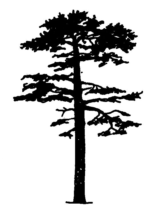 pine silhouette.