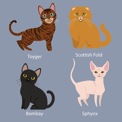 Scottish fold clipart hd.