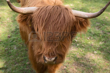 Scottish Highland Cows Images & Stock Pictures. Royalty Free.