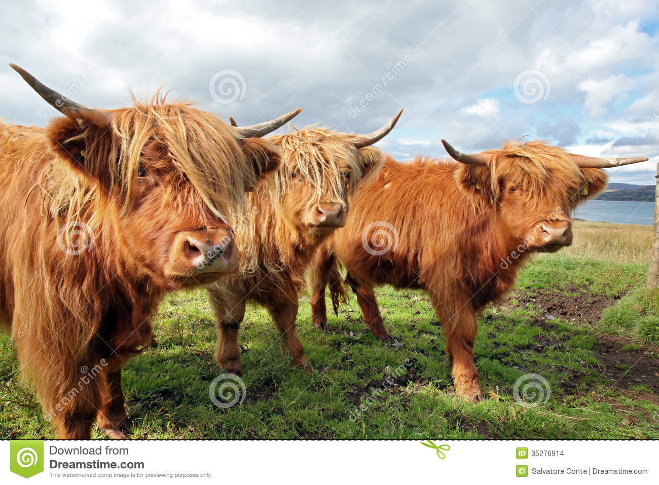 Close Up Of Scottish Highland Cow In Field Stock Images.