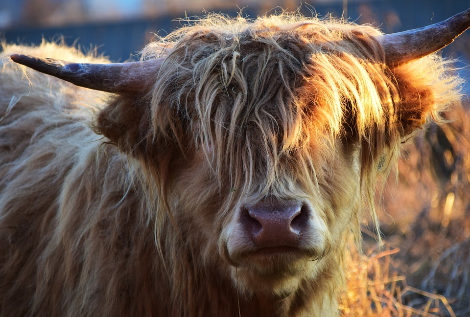 Free photo: Highland Beef, Beef, Cow.