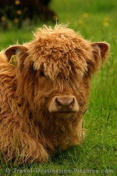 Highland cattle, Cattle and Highlands on Pinterest.