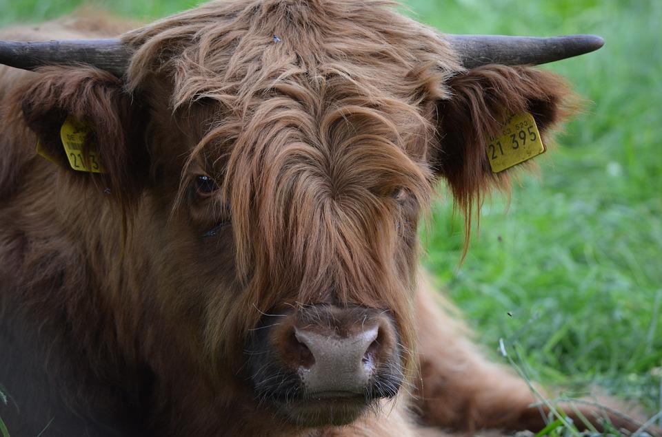 Free photo Animal Highlander Ox Scottish Hochlandrind Beef.