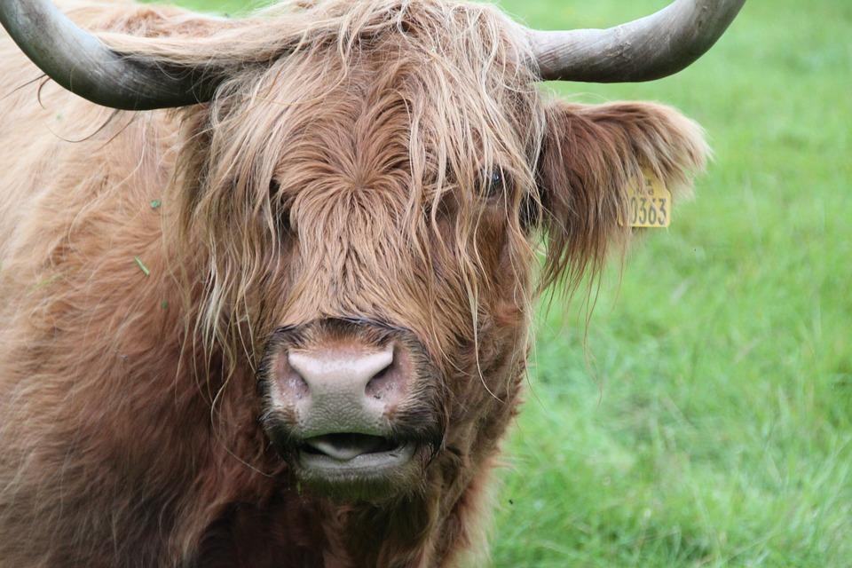 Free photo: Beef, Scottish Hochlandrind, Animal.