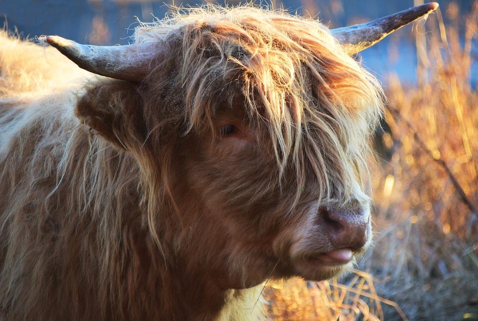 Free photo Beef Horns Scottish Hochlandrind Highland Beef Cow.