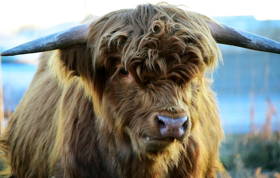 Free photo Horns Cow Highland Beef Scottish Hochlandrind Beef.