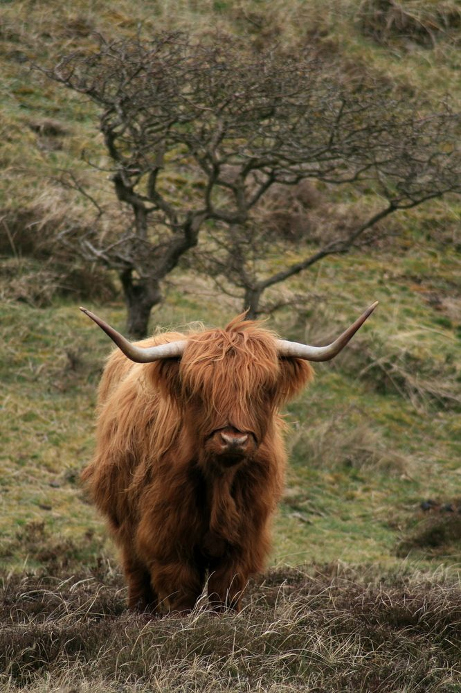 1000+ images about Highland Coos on Pinterest.
