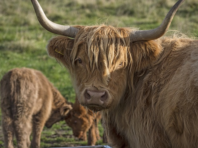 Free photo Galloway Animals Galloway Beef Agriculture Cattle.