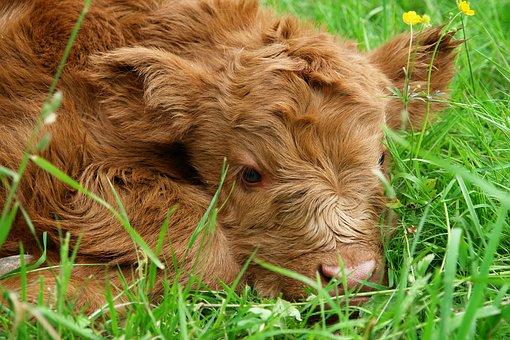 Free photo Scottish Hochlandrind Beef Highland Beef Horns.