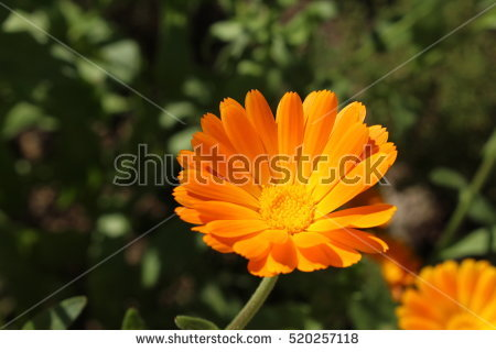 Pot Marigold Stock Photos, Royalty.