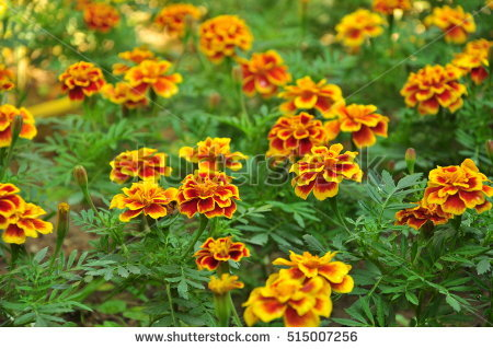 Marigold Garden Stock Photos, Royalty.