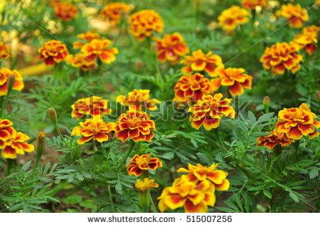 Marigold Garden Stock Photos, Royalty.