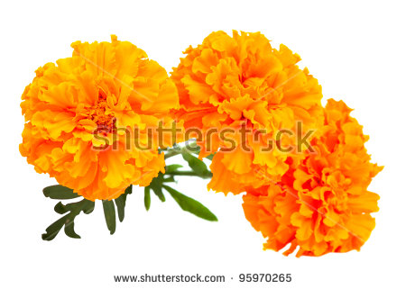 Marigold Isolated Stock Photos, Royalty.