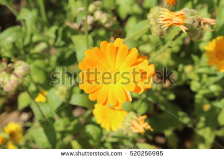 Red Marigold Stock Photos, Royalty.