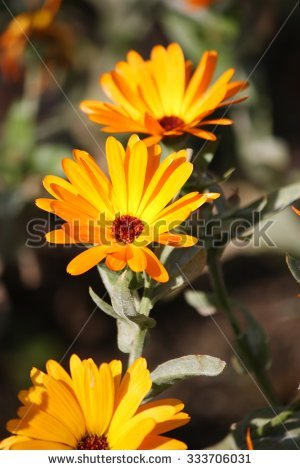 Common Marigold Stock Photos, Royalty.