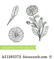 Scottish marigold Clip Art Illustrations. 4 scottish marigold.