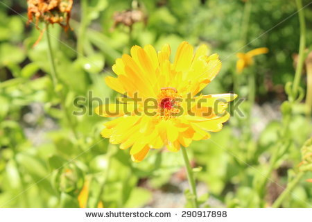 English Marigold Stock Photos, Royalty.