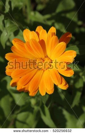 English Marigold Stock Photos, Royalty.