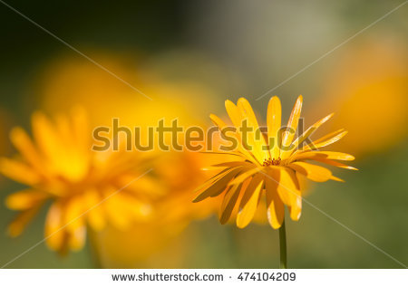 """officinalis Marigold"" Stock Photos, Royalty."