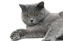Gray Cat Breeds Scottish Straight On A White Background Stock.