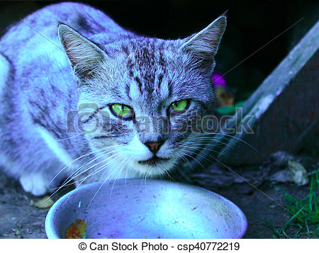 Stock Photography of cat of Scottish Straight breed eats from dish.
