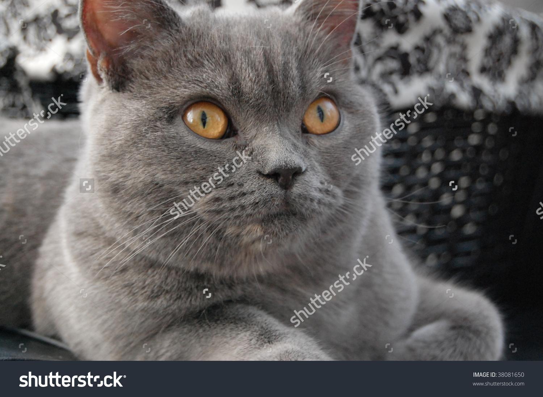 Scottish Straight Cat Stock Photo 38081650.